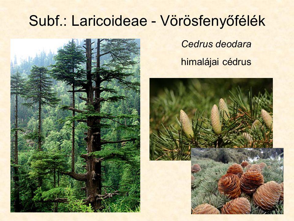Subf.: Laricoideae - Vörösfenyőfélék Cedrus deodara himalájai cédrus