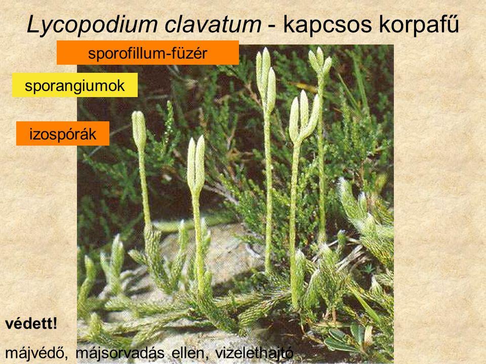 Lycopodium clavatum - kapcsos korpafű sporofillum-füzér sporangiumok izospórák védett.