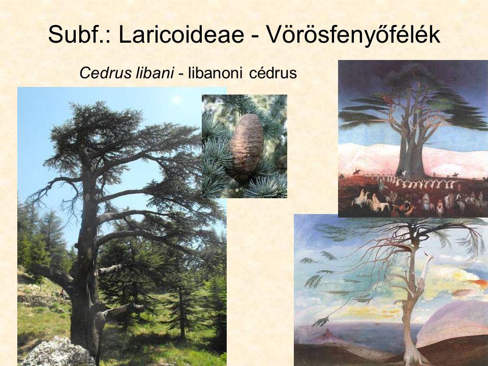 Subf.: Laricoideae - Vörösfenyőfélék Cedrus libani - libanoni cédrus
