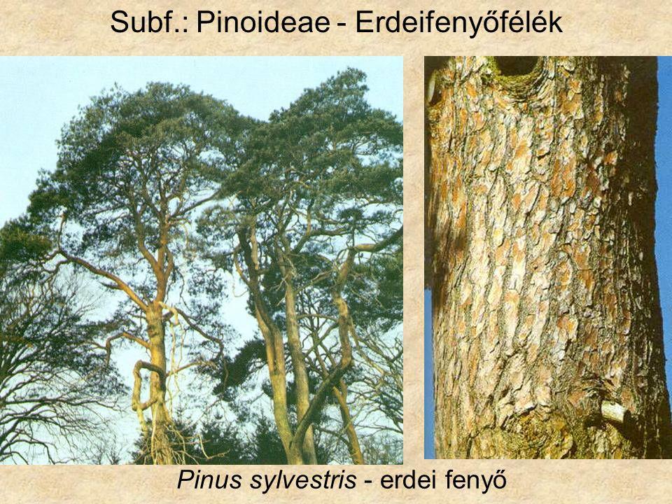Pinus sylvestris - erdei fenyő Subf.: Pinoideae - Erdeifenyőfélék