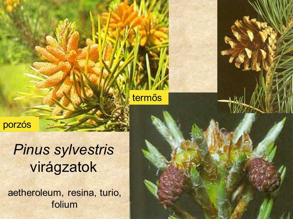 Pinus sylvestris - légzsákos pollen