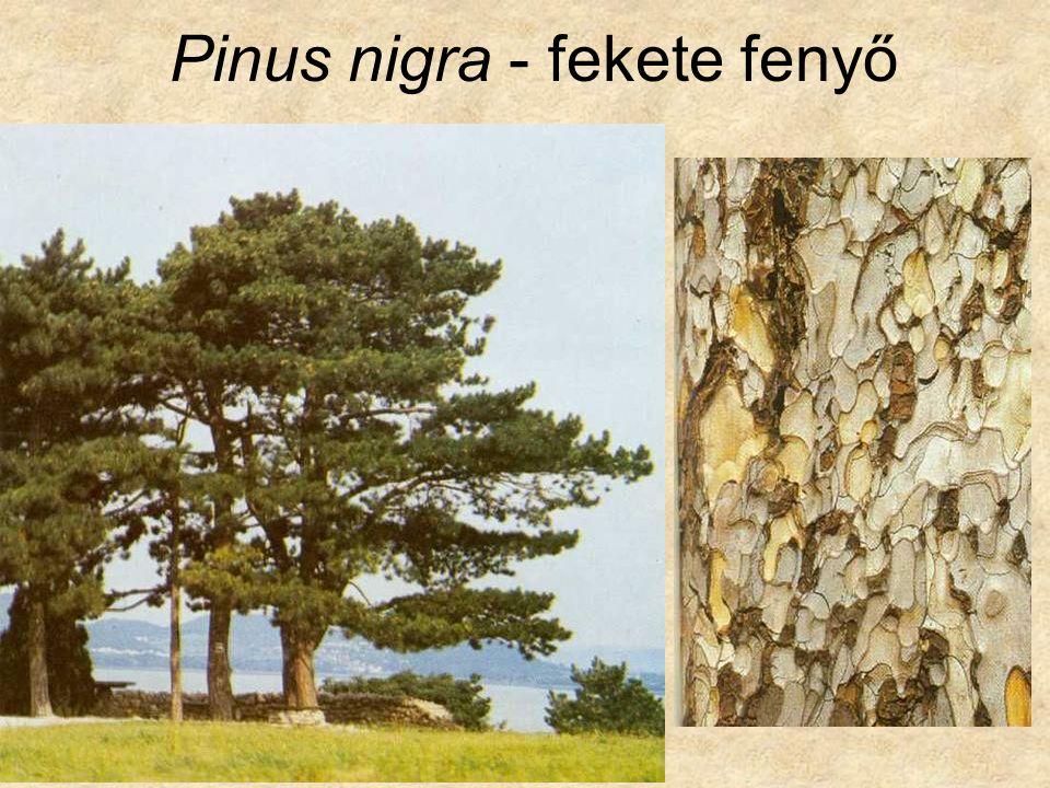 Pinus nigra tűlevél keresztmetszet shizogén gyantajárat
