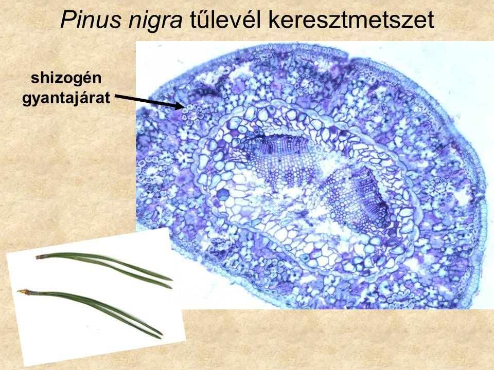 Subf.: Pinoideae Pinus pinea - mandulafenyő (Mediterráneum) P.