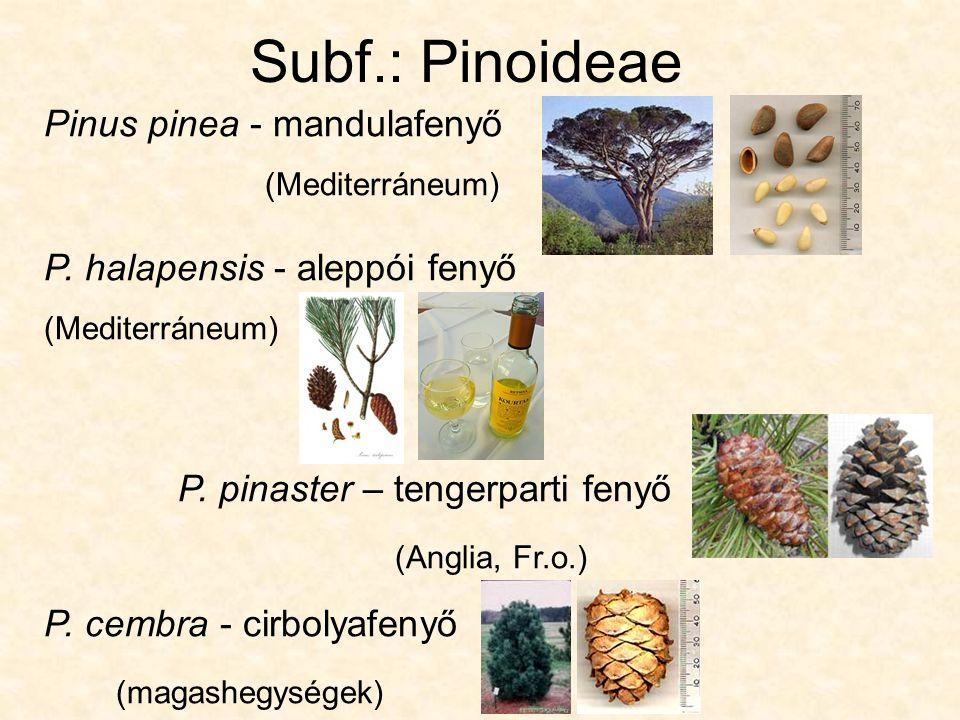 F.: Taxodiaceae - Mocsárciprusfélék Taxodium distichum - mocsárciprus: légzőgyökér (pneumatophora)