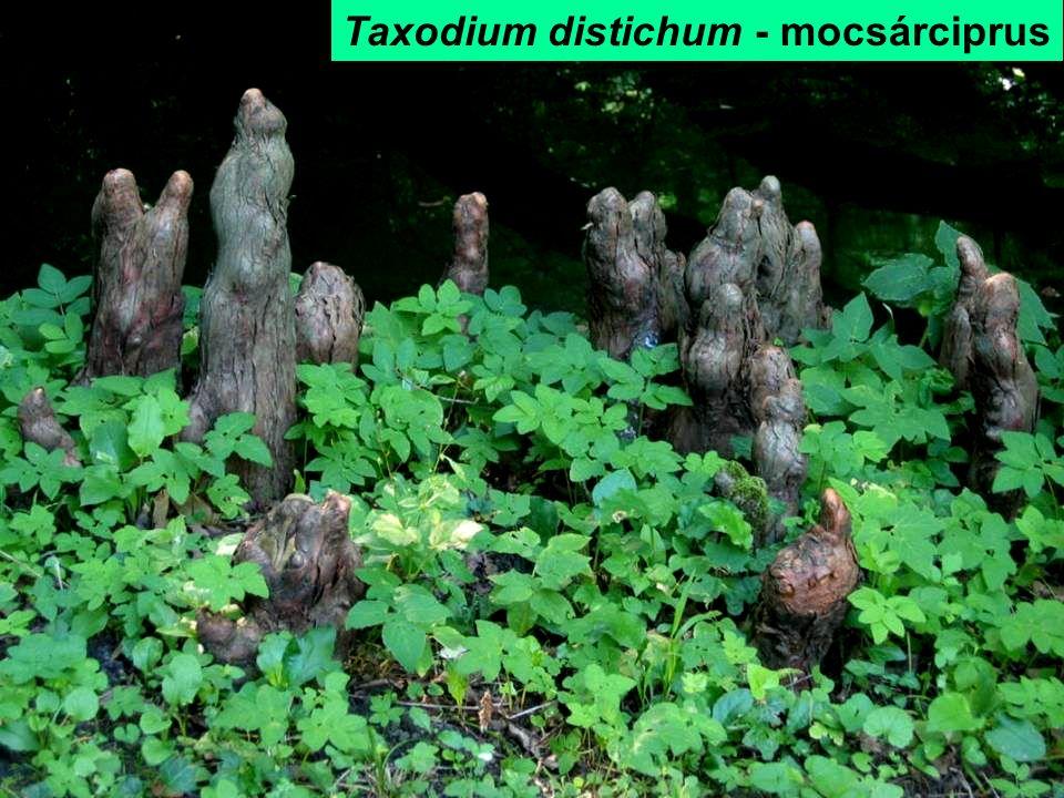Taxodium distichum - mocsárciprus