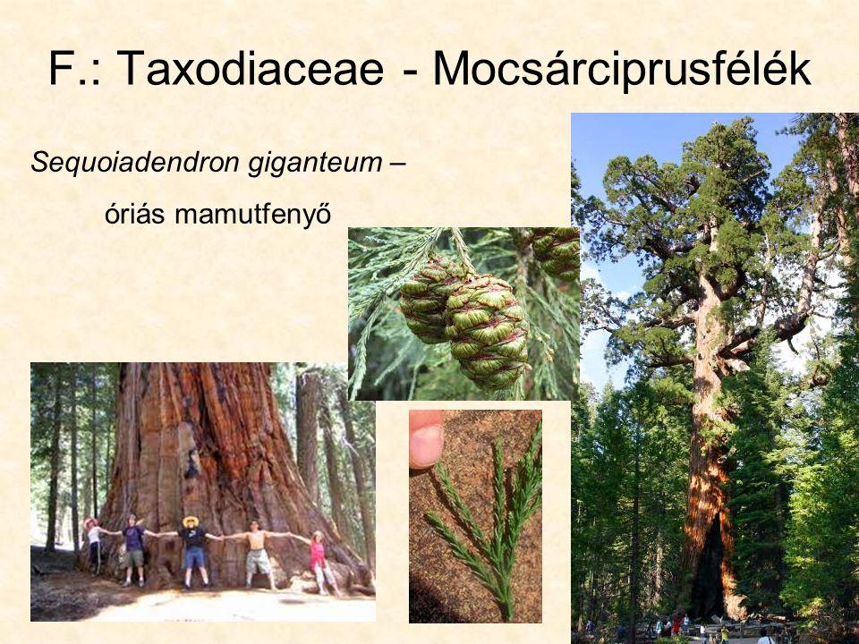 F.: Taxodiaceae - Mocsárciprusfélék Sequoiadendron giganteum – óriás mamutfenyő