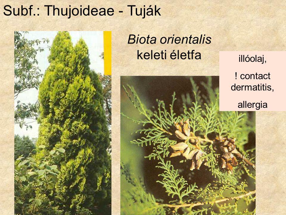 Biota orientalis keleti életfa Subf.: Thujoideae - Tuják illóolaj, ! contact dermatitis, allergia