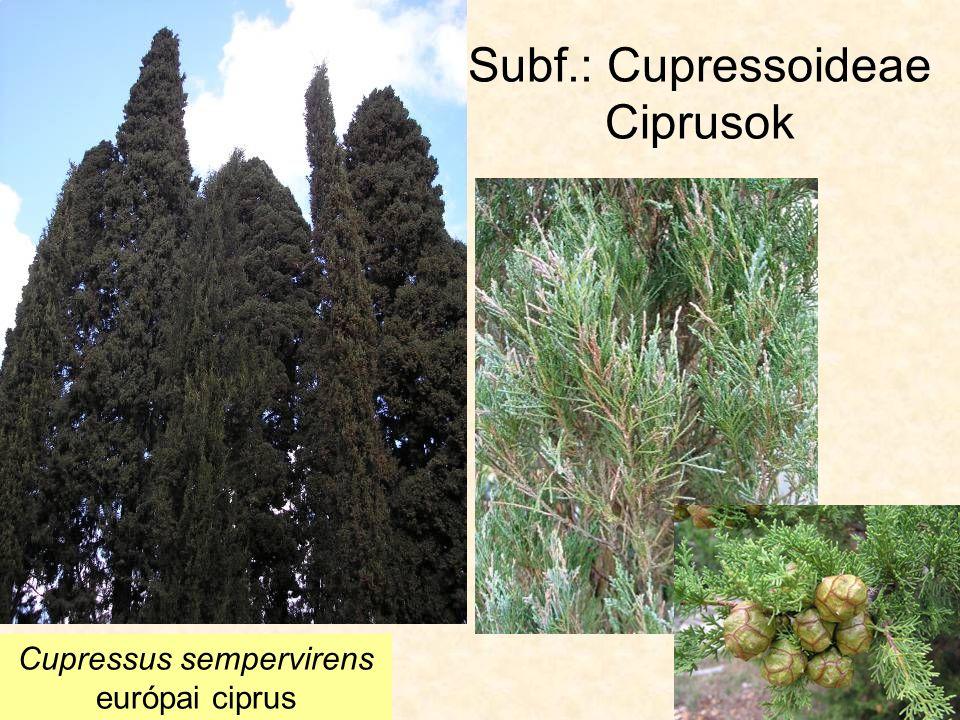 Subf.: Cupressoideae Ciprusok Cupressus sempervirens európai ciprus