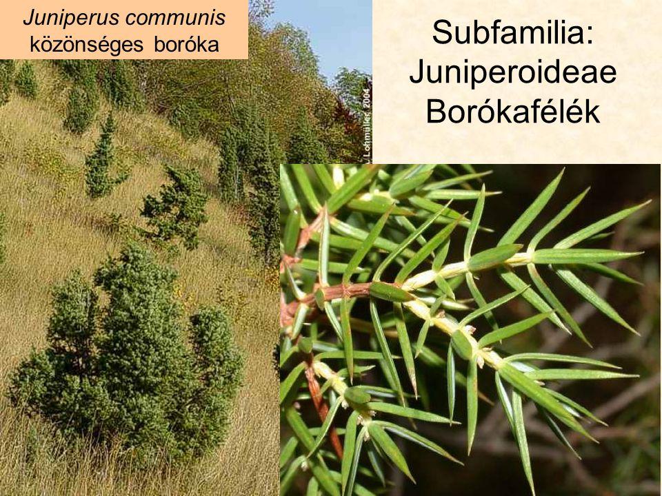 Subfamilia: Juniperoideae Borókafélék Juniperus communis közönséges boróka: galbulus (tobozbogyó) pix (kátrány) lignum (fa) ió.