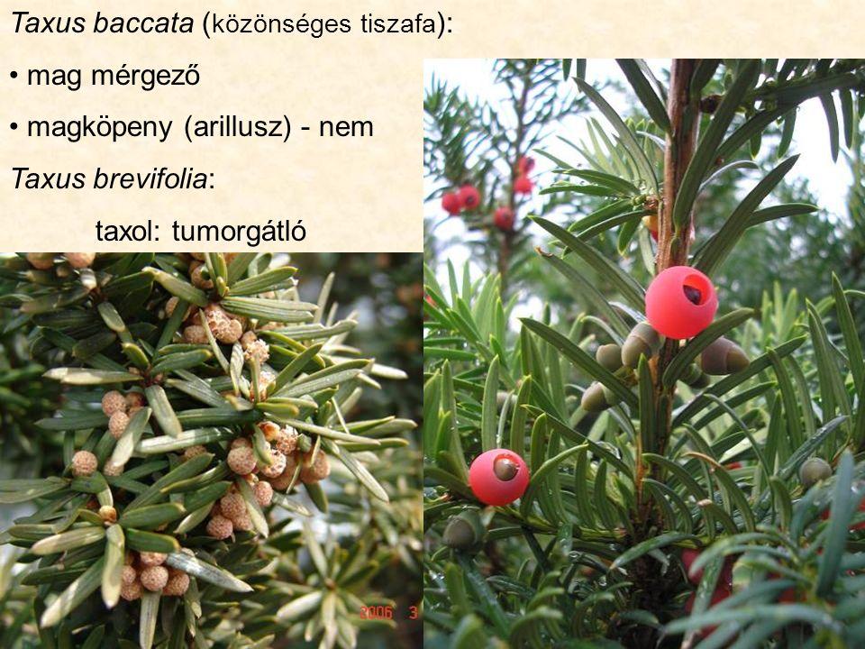 Taxus baccata ( közönséges tiszafa ): mag mérgező magköpeny (arillusz) - nem Taxus brevifolia: taxol: tumorgátló