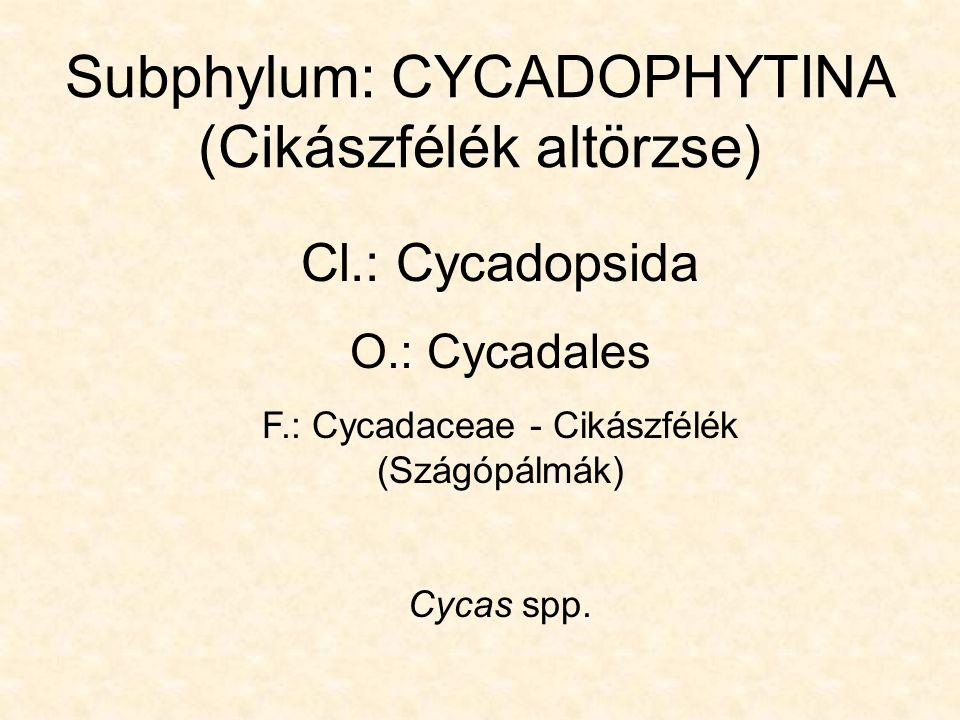 Subphylum: CYCADOPHYTINA (Cikászfélék altörzse) Cl.: Cycadopsida O.: Cycadales F.: Cycadaceae - Cikászfélék (Szágópálmák) Cycas spp.