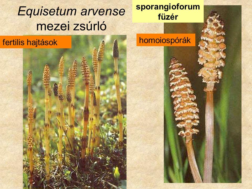 Equisetum arvense mezei zsúrló sporangioforum füzér fertilis hajtások homoiospórák