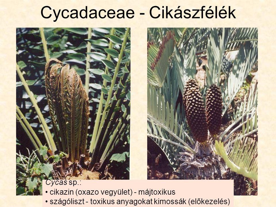 Cycas sp.: cikazin (oxazo vegyület) - májtoxikus szágóliszt - toxikus anyagokat kimossák (előkezelés)