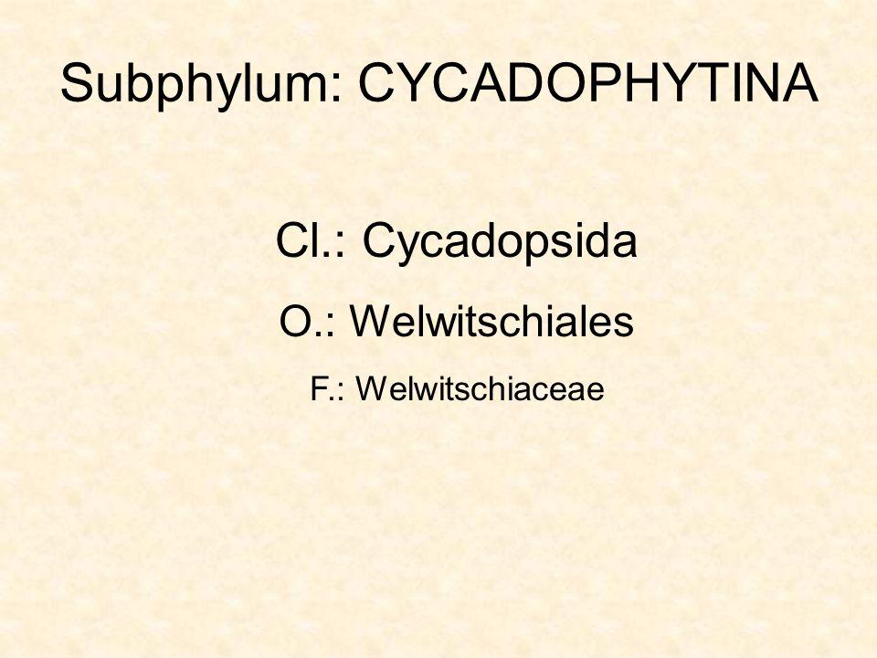Welwitschia mirabilis: DNy-Afrika: Namíb-sivatag Friedrich Welwitsch (1850- )