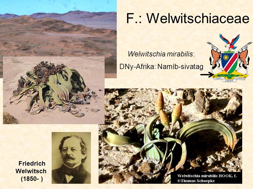 Subphylum: CYCADOPHYTINA Cl.: Cycadopsida O.: Ephedrales F.: Ephedraceae - Csikófarkfélék