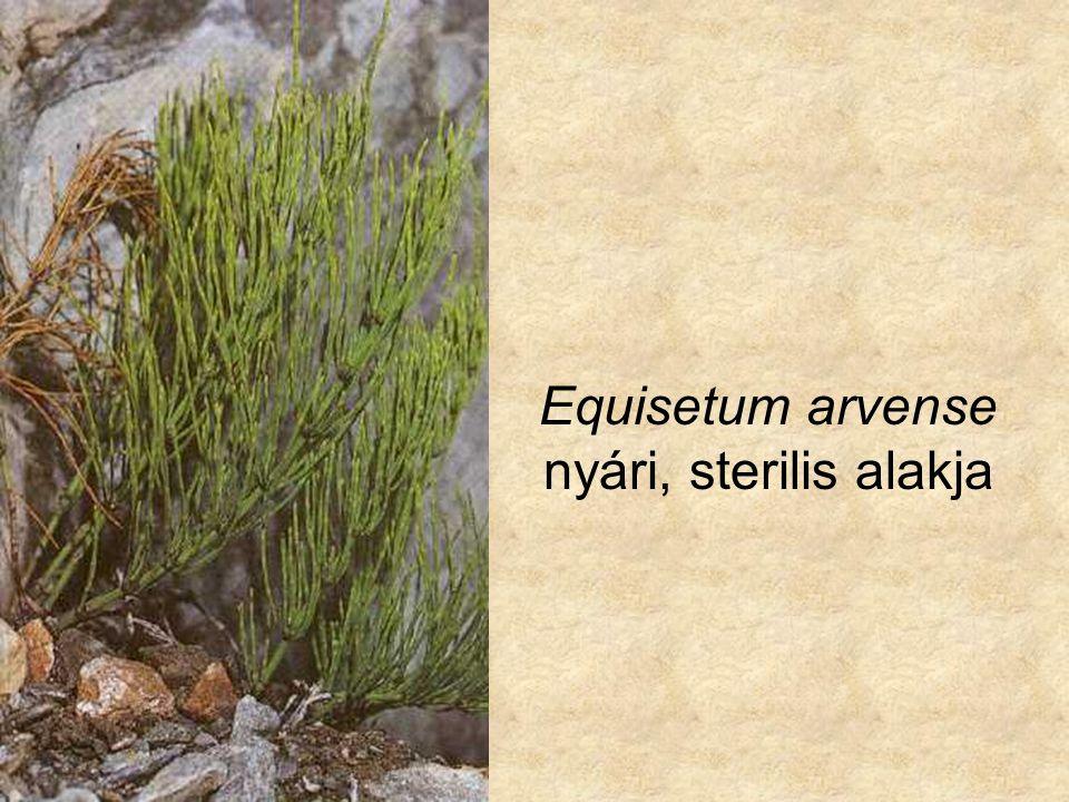 Equisetum arvense nyári, sterilis alakja