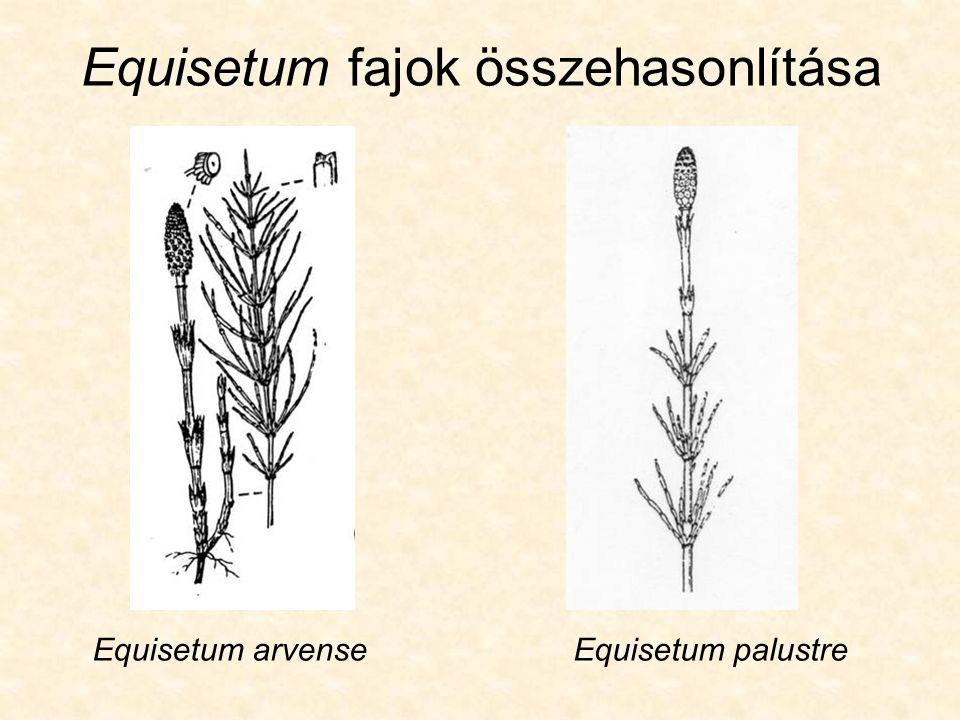 Equisetum fajok összehasonlítása Equisetum arvenseEquisetum palustre