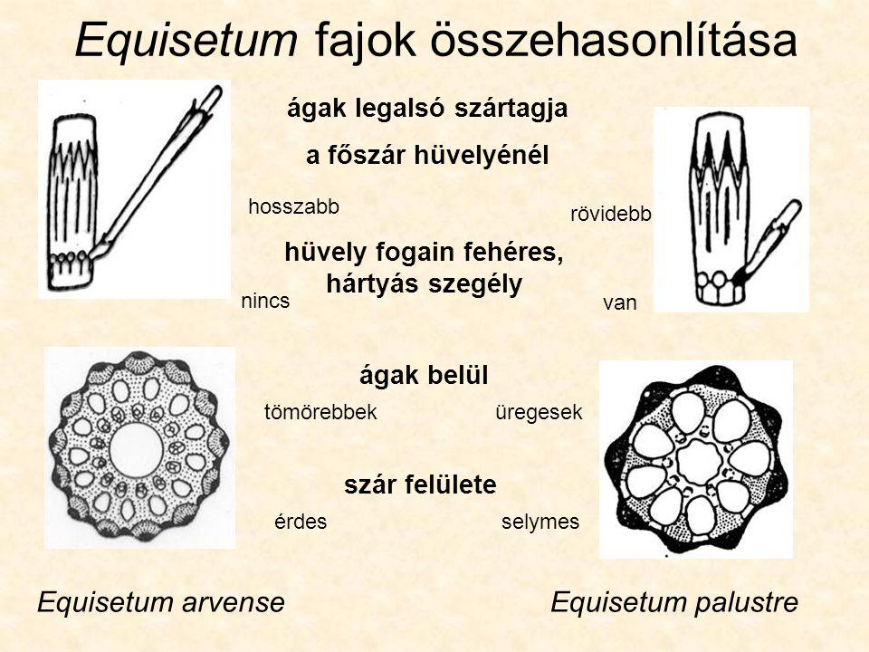Equisetum fajok összehasonlítása Equisetum arvenseEquisetum palustre ágak legalsó szártagja a főszár hüvelyénél hosszabb rövidebb hüvely fogain fehéres, hártyás szegély nincs van ágak belül tömörebbeküregesek szár felülete érdesselymes