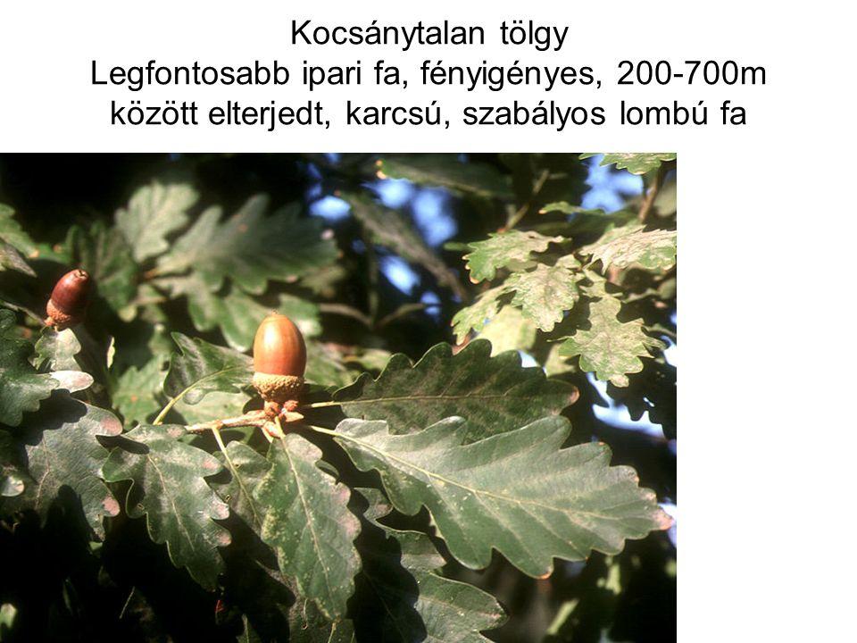 Kocsánytalan tölgy Legfontosabb ipari fa, fényigényes, 200-700m között elterjedt, karcsú, szabályos lombú fa