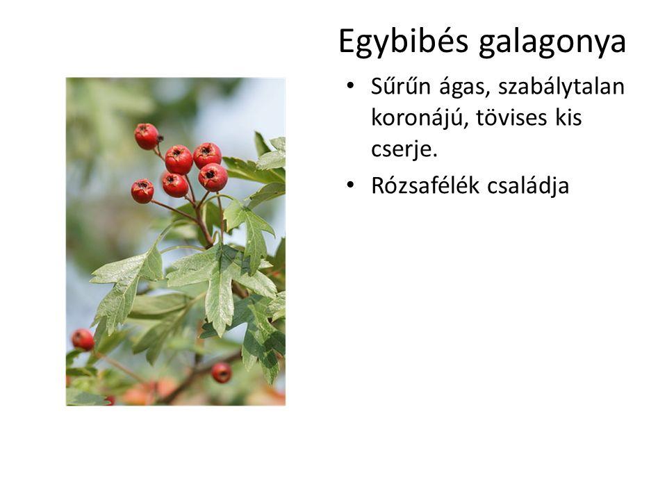 Egybibés galagonya Sűrűn ágas, szabálytalan koronájú, tövises kis cserje. Rózsafélék családja