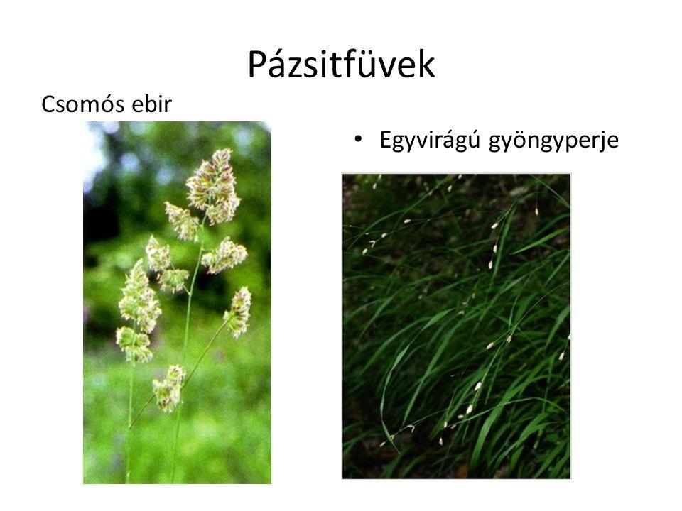 Pázsitfüvek Csomós ebir Egyvirágú gyöngyperje
