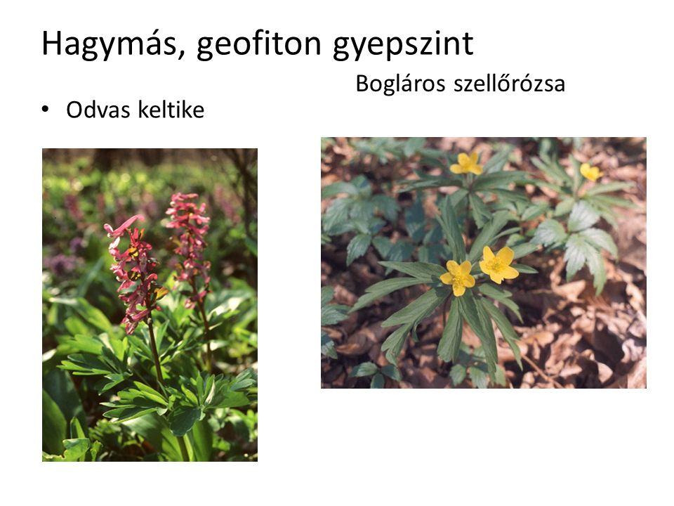 Hagymás, geofiton gyepszint Odvas keltike Bogláros szellőrózsa