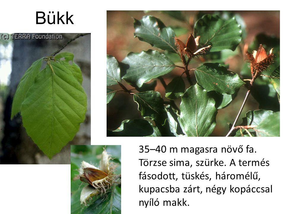 Bükk 35–40 m magasra növő fa. Törzse sima, szürke.
