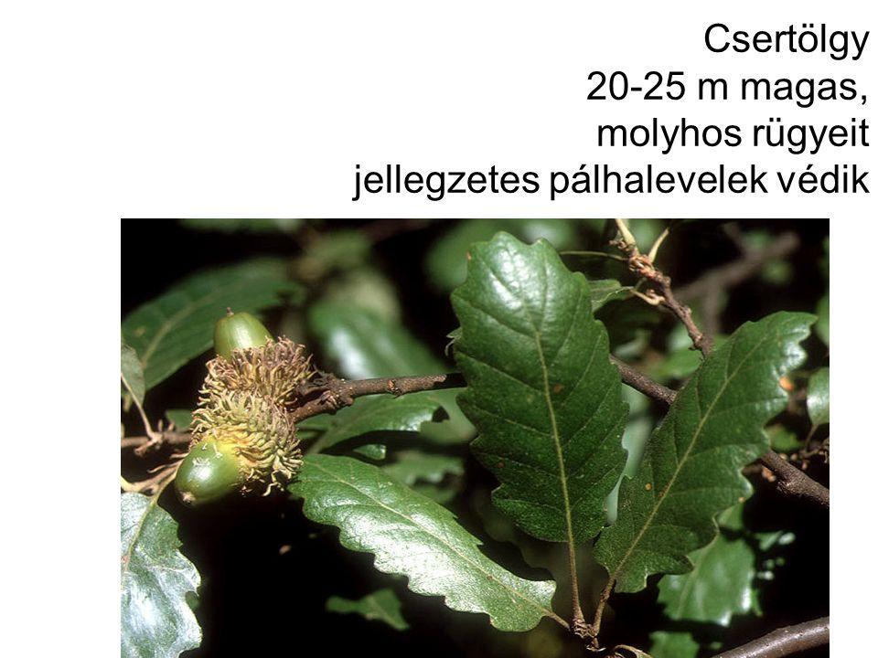 Csertölgy 20-25 m magas, molyhos rügyeit jellegzetes pálhalevelek védik