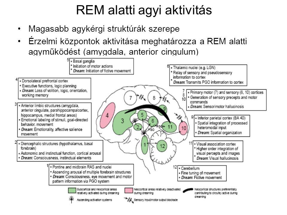 REM alatti agyi aktivitás Magasabb agykérgi struktúrák szerepe Érzelmi központok aktivitása meghatározza a REM alatti agyműködést (amygdala, anterior