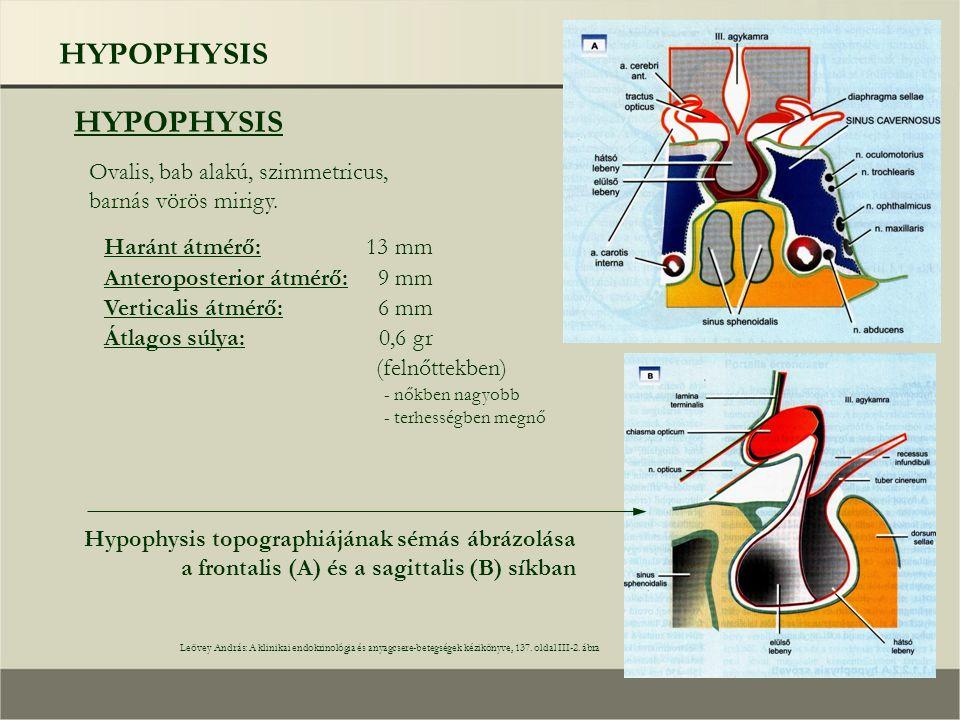 HYPOPHYSIS A hypophysis részeinek a hypothalamusszal való kapcsolata Leövey András: A klinikai endokrinológia és anyagcsere-betegségek kézikönyve, 138.