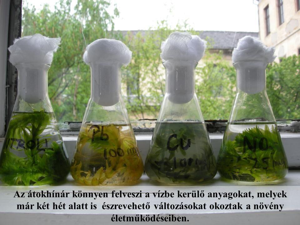 Az átokhínár könnyen felveszi a vízbe kerülő anyagokat, melyek már két hét alatt is észrevehető változásokat okoztak a növény életműködéseiben.