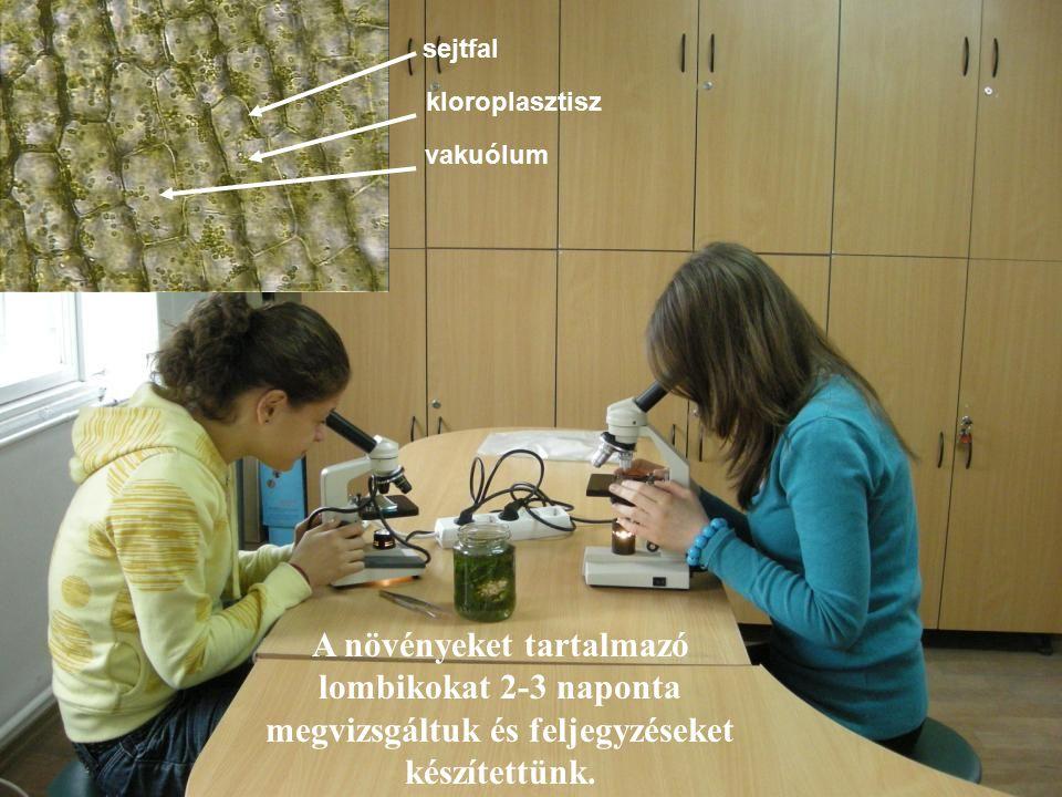 A növényeket tartalmazó lombikokat 2-3 naponta megvizsgáltuk és feljegyzéseket készítettünk. sejtfal kloroplasztisz vakuólum