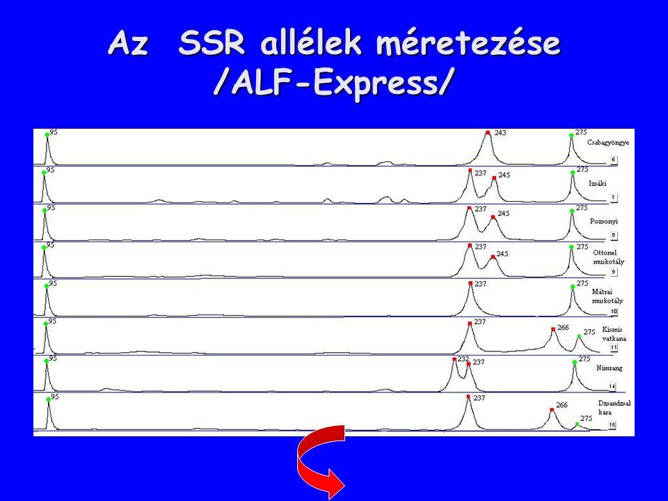 Az SSR allélek méretezése /ALF-Express/