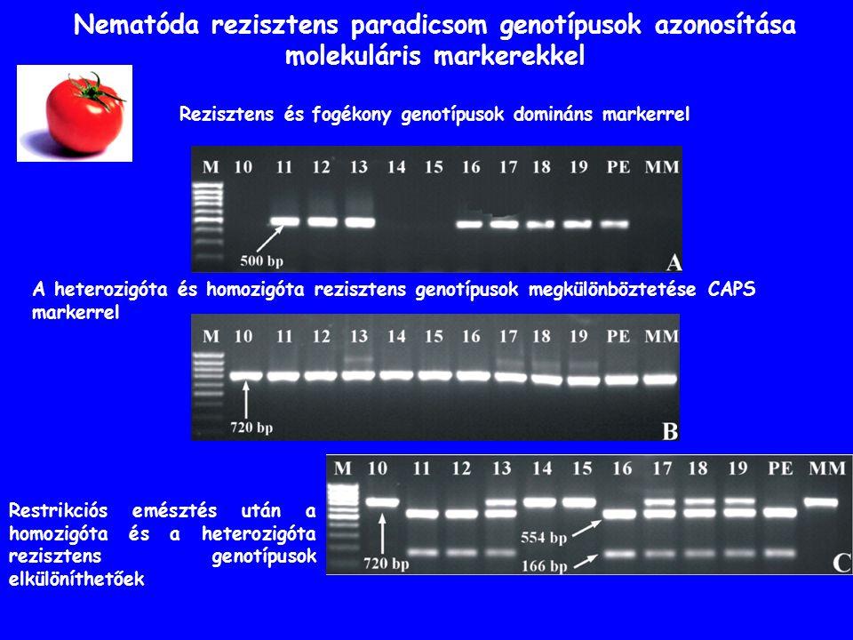 Nematóda rezisztens paradicsom genotípusok azonosítása molekuláris markerekkel Restrikciós emésztés után a homozigóta és a heterozigóta rezisztens genotípusok elkülöníthetőek A heterozigóta és homozigóta rezisztens genotípusok megkülönböztetése CAPS markerrel Rezisztens és fogékony genotípusok domináns markerrel