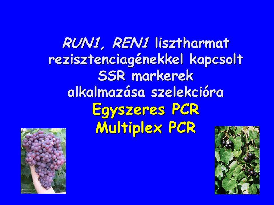 RUN1, REN1 lisztharmat rezisztenciagénekkel kapcsolt SSR markerek alkalmazása szelekcióra Egyszeres PCR Multiplex PCR RUN1, REN1 lisztharmat rezisztenciagénekkel kapcsolt SSR markerek alkalmazása szelekcióra Egyszeres PCR Multiplex PCR