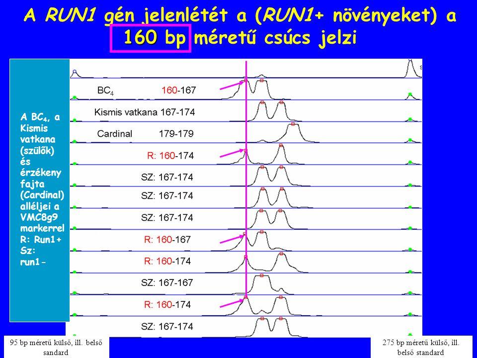 160 A RUN1 gén jelenlétét a (RUN1+ növényeket) a 160 bp méretű csúcs jelzi 95 bp méretű külső, ill. belső sandard 275 bp méretű külső, ill. belső stan