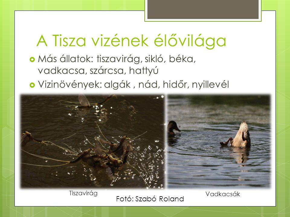 A Tisza vizének élővilága  Más állatok: tiszavirág, sikló, béka, vadkacsa, szárcsa, hattyú  Vizinövények: algák, nád, hidőr, nyillevél Tiszavirág Vadkacsák Fotó: Szabó Roland