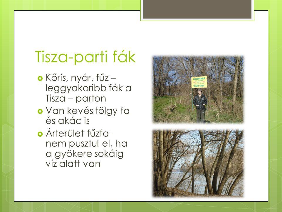 Tisza-parti fák  Kőris, nyár, fűz – leggyakoribb fák a Tisza – parton  Van kevés tölgy fa és akác is  Árterület fűzfa- nem pusztul el, ha a gyökere sokáig víz alatt van