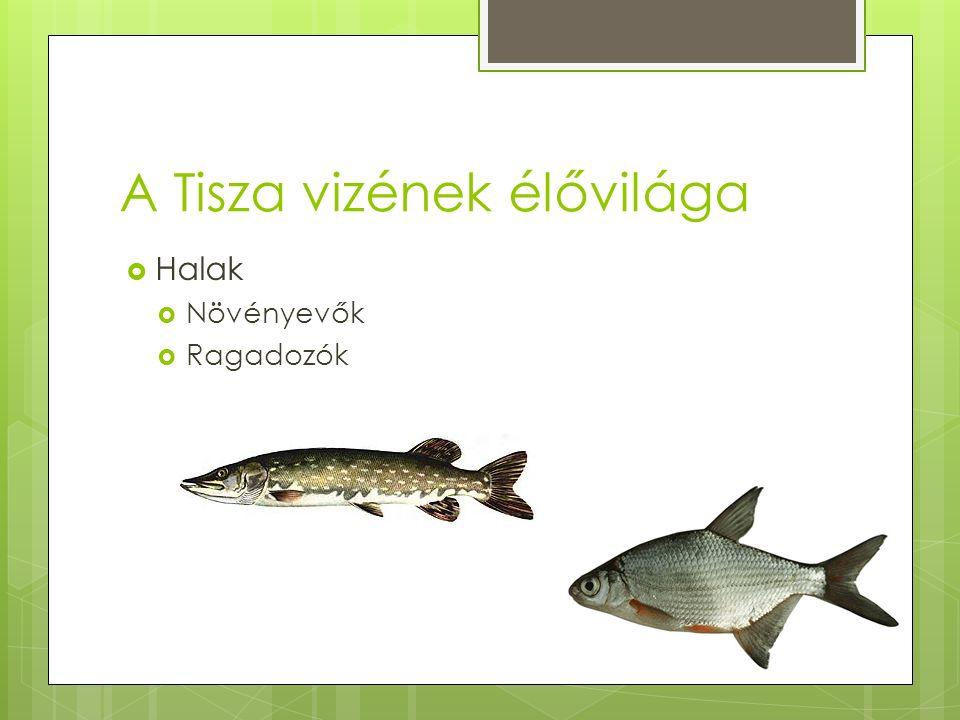 A Tisza vizének élővilága  Halak  Növényevők  Ragadozók