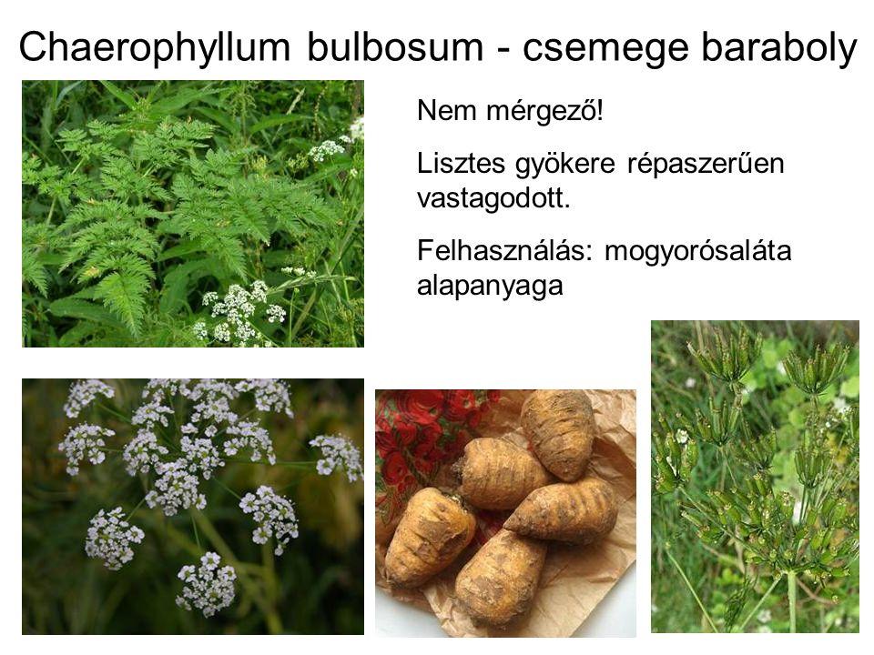 Chaerophyllum bulbosum - csemege baraboly Nem mérgező! Lisztes gyökere répaszerűen vastagodott. Felhasználás: mogyorósaláta alapanyaga