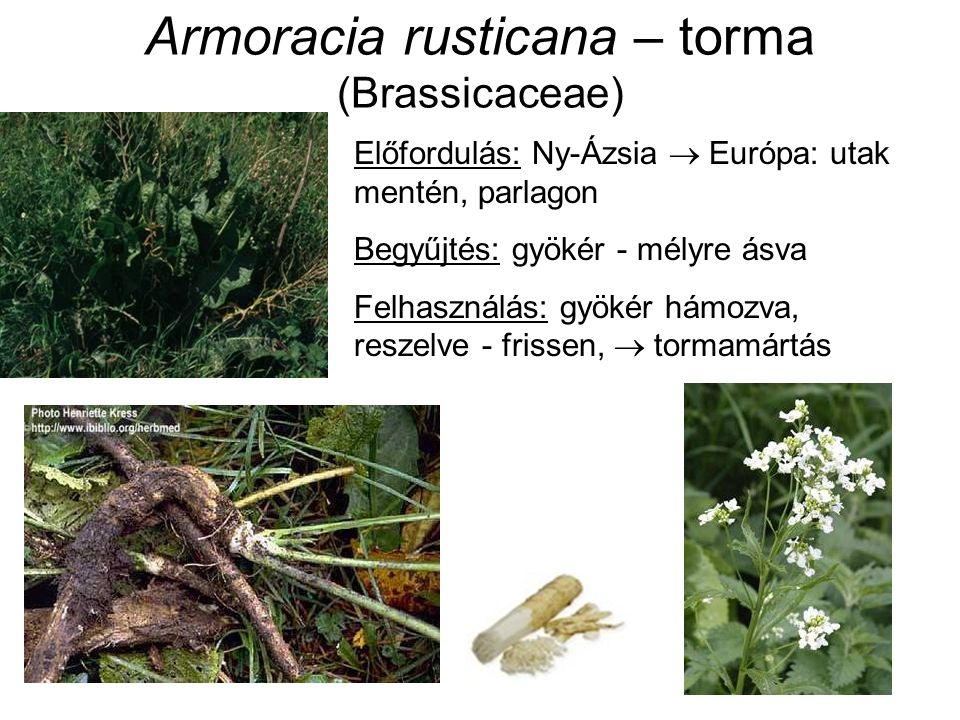 Armoracia rusticana – torma (Brassicaceae) Előfordulás: Ny-Ázsia  Európa: utak mentén, parlagon Begyűjtés: gyökér - mélyre ásva Felhasználás: gyökér hámozva, reszelve - frissen,  tormamártás