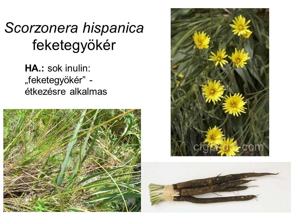 """Scorzonera hispanica feketegyökér HA.: sok inulin: """"feketegyökér - étkezésre alkalmas"""