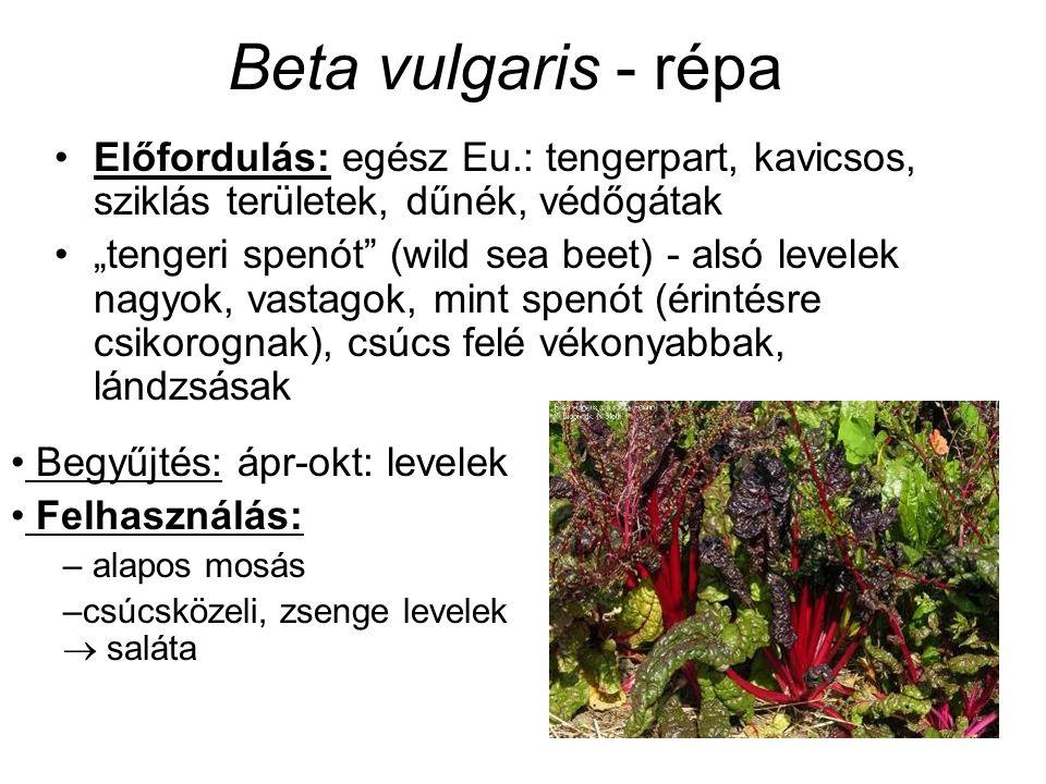 """Beta vulgaris - répa Előfordulás: egész Eu.: tengerpart, kavicsos, sziklás területek, dűnék, védőgátak """"tengeri spenót (wild sea beet) - alsó levelek nagyok, vastagok, mint spenót (érintésre csikorognak), csúcs felé vékonyabbak, lándzsásak Begyűjtés: ápr-okt: levelek Felhasználás: – alapos mosás –csúcsközeli, zsenge levelek  saláta"""