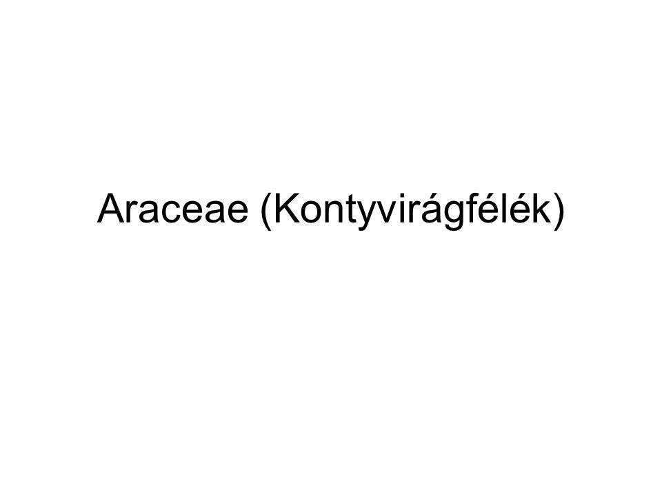 Araceae (Kontyvirágfélék)