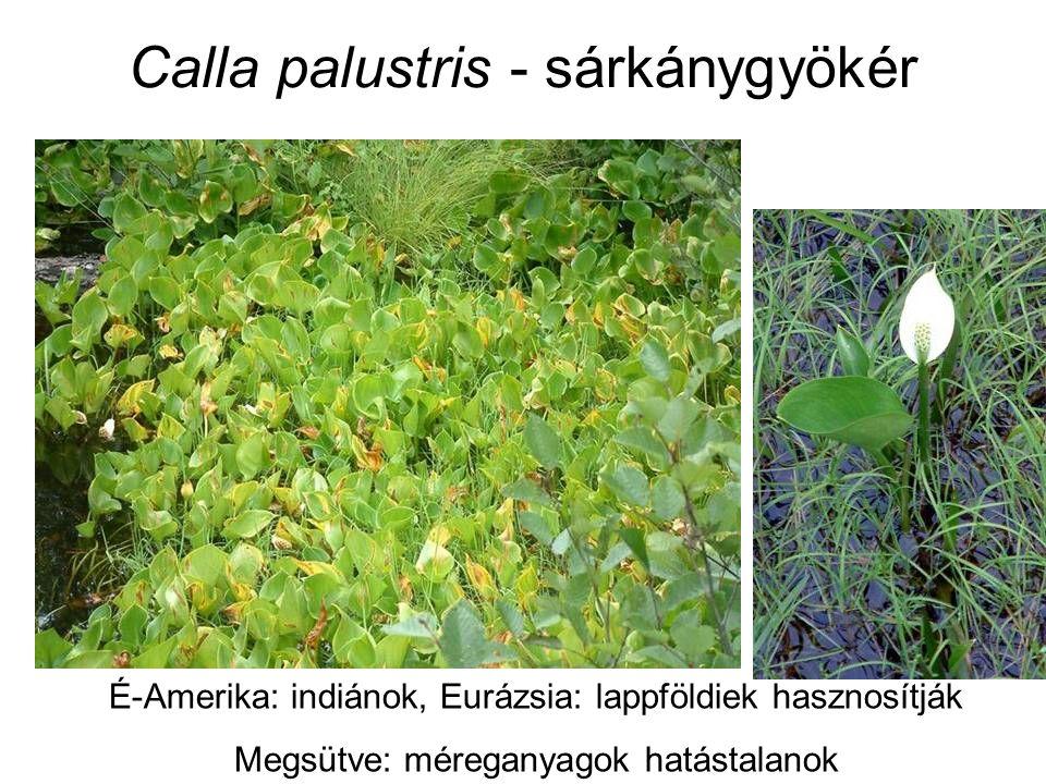 Calla palustris - sárkánygyökér É-Amerika: indiánok, Eurázsia: lappföldiek hasznosítják Megsütve: méreganyagok hatástalanok