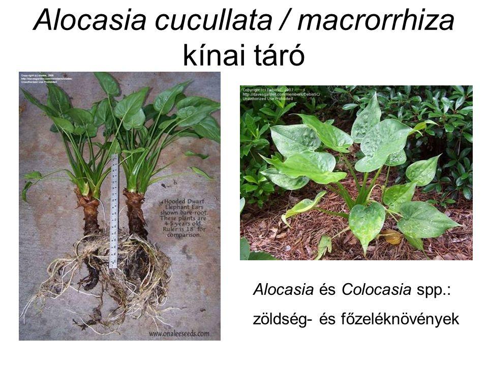 Alocasia cucullata / macrorrhiza kínai táró Alocasia és Colocasia spp.: zöldség- és főzeléknövények