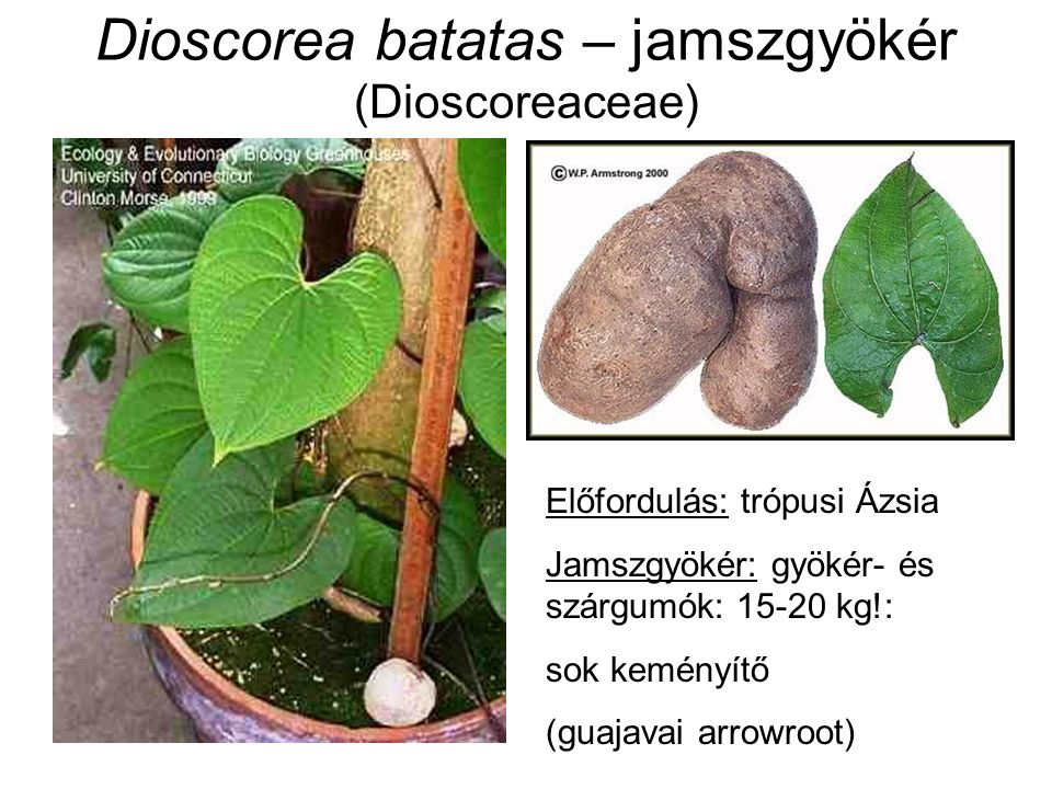 Dioscorea batatas – jamszgyökér (Dioscoreaceae) Előfordulás: trópusi Ázsia Jamszgyökér: gyökér- és szárgumók: 15-20 kg!: sok keményítő (guajavai arrow