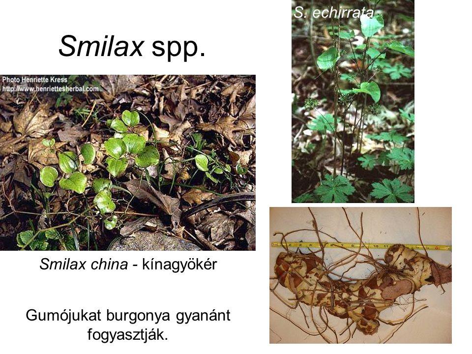 Smilax spp. Gumójukat burgonya gyanánt fogyasztják. Smilax china - kínagyökér S. echirrata