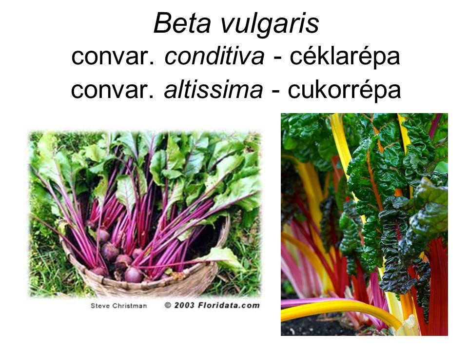 Beta vulgaris convar. conditiva - céklarépa convar. altissima - cukorrépa