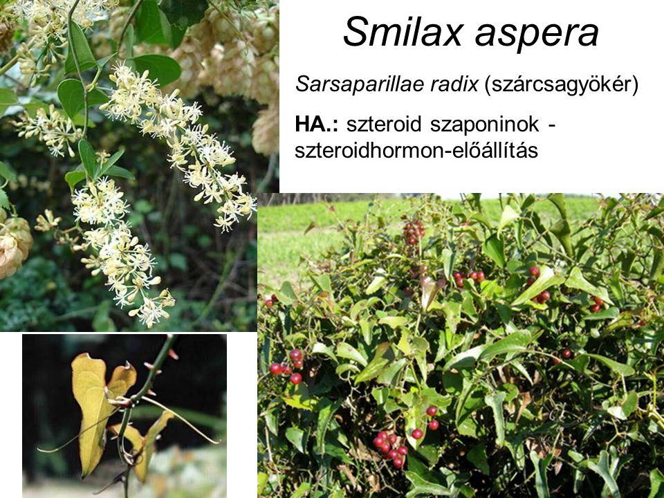 Smilax aspera Sarsaparillae radix (szárcsagyökér) HA.: szteroid szaponinok - szteroidhormon-előállítás